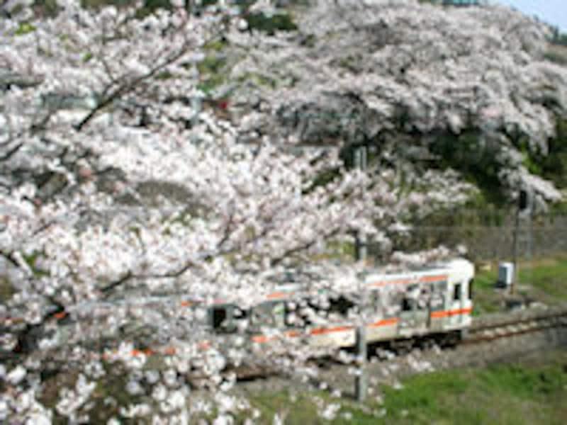 山北駅付近の桜