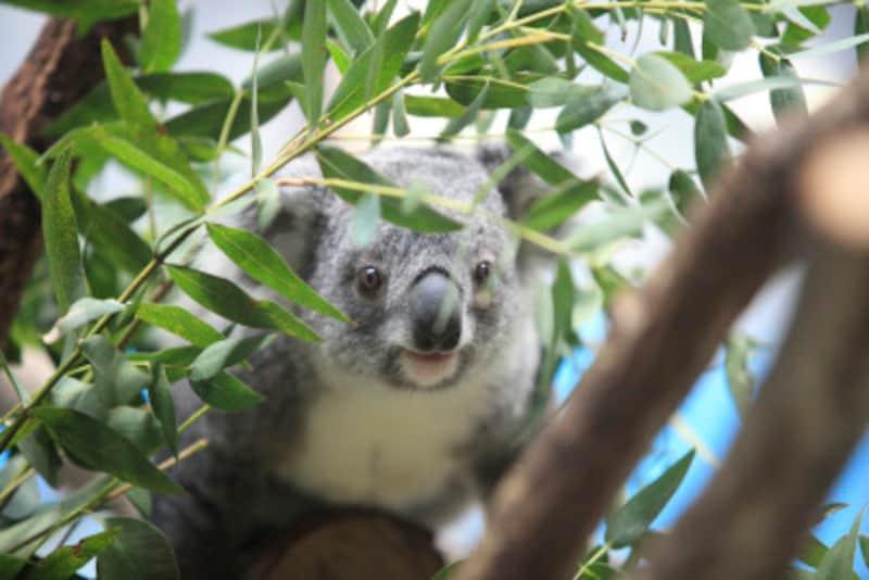「コアラを抱っこした」はIheldakoala.です