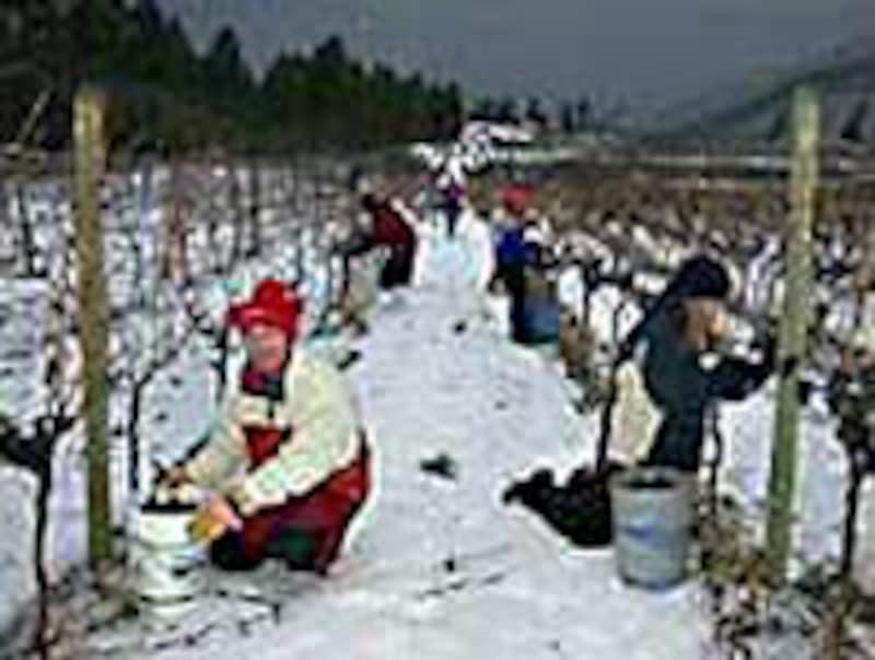 アイスワインの収穫