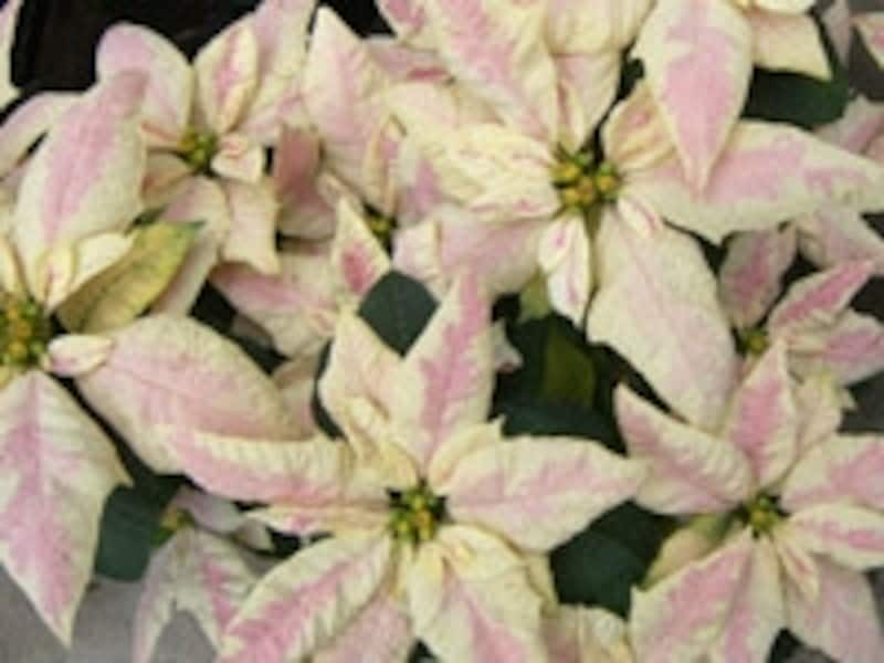 「ジェスターマーブル」という品種のポインセチア。クリーム色をした苞の中心部がピンクになる