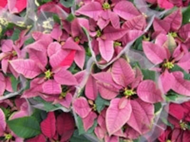「パープルレイン」という品種のポインセチア。シックなパープル系の色が印象的