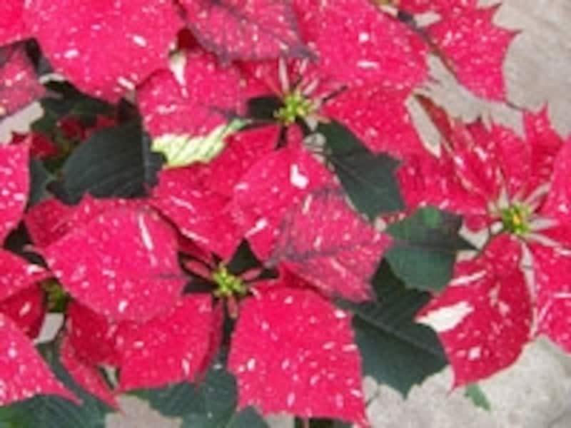 「ジングルベル」という品種のポインセチア。赤い苞に雪が舞い降りているようなイメージ
