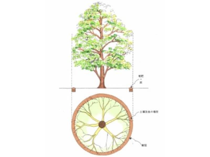 地下の根は、地上の枝とほぼ同じくらいに広がっています。