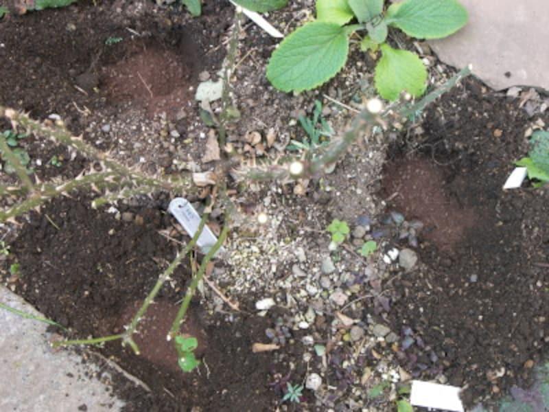さまざまな植物が混埴されているところでは、このように、数ヶ所穴を掘って肥料を入れます。