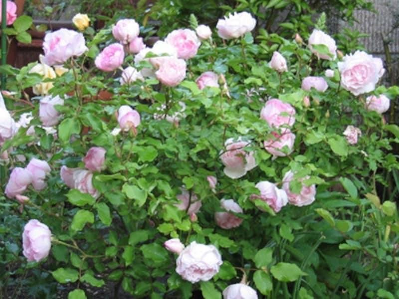 バラの剪定を冬に行うべき理由とお手入れ方法を解説