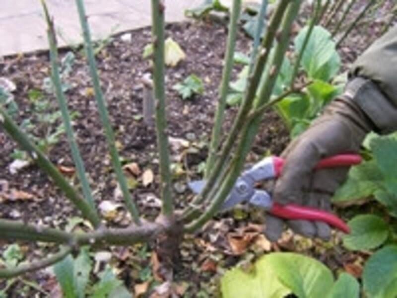 バラの剪定手順。不要な枝(細い枝、古枝など)はすっぱり取り除く