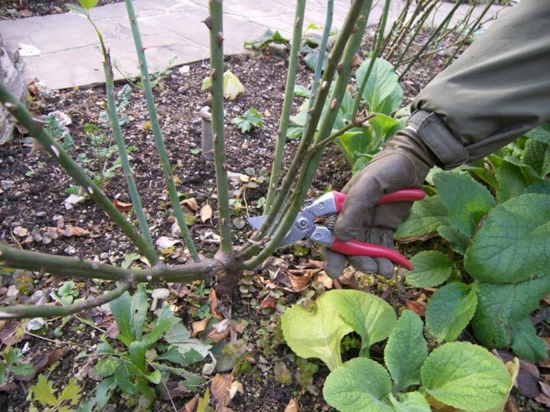 バラ剪定:不要な枝を取り除く