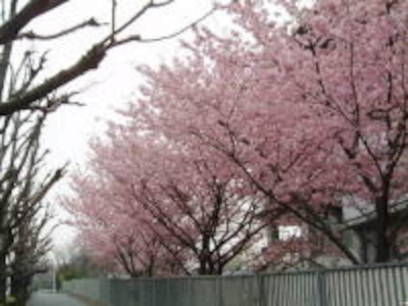 外務省横・潮見坂の桜