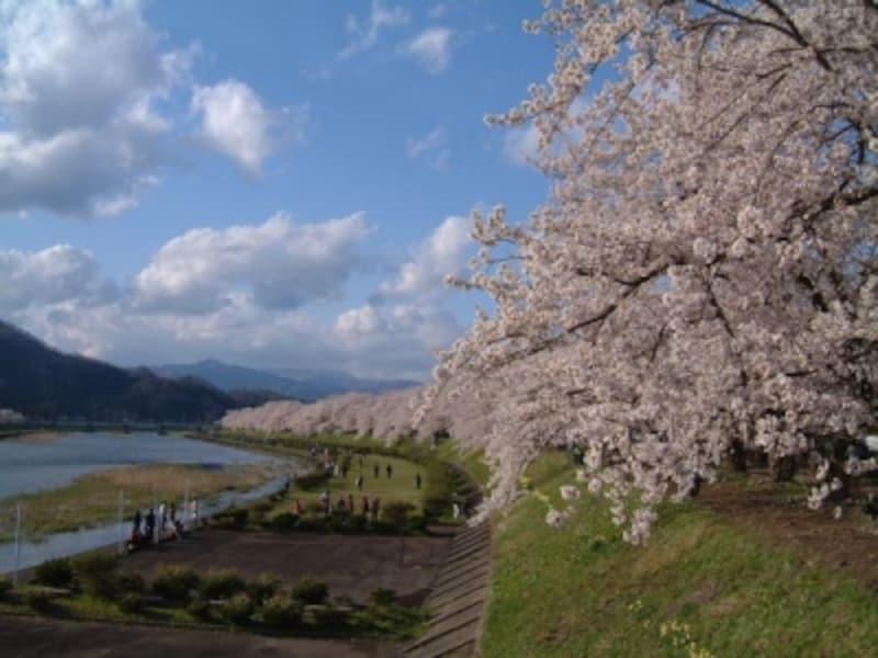 角館・檜木内川の桜並木(1)
