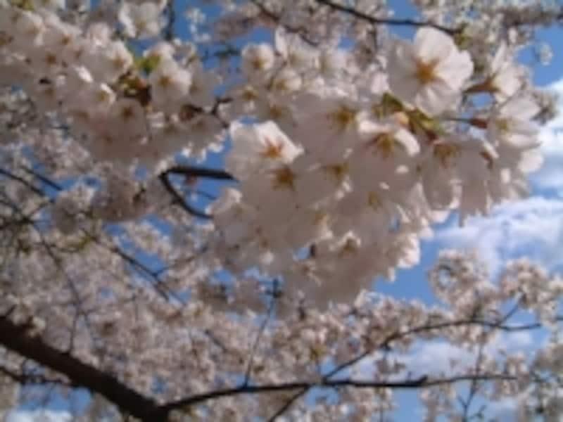 角館・檜木内川の桜