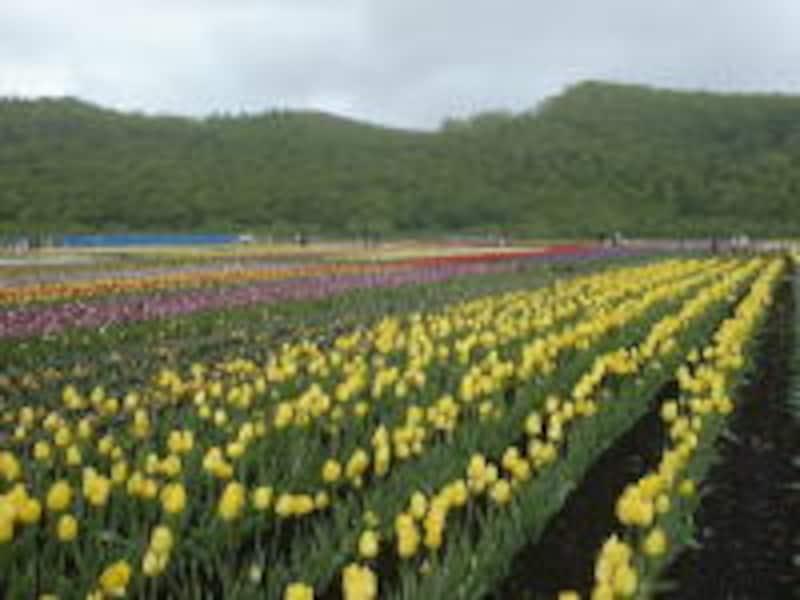 上湧別チューリップ公園のチューリップ畑(2)
