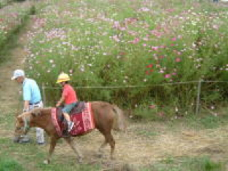 コスモス畑を歩くポニー