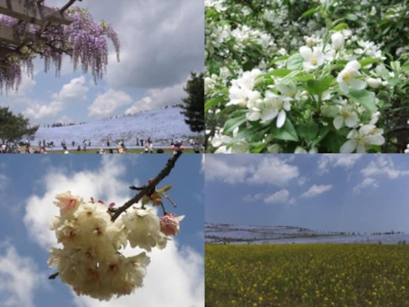 国営ひたち海浜公園でネモフィラと一緒に見ることができる花たち