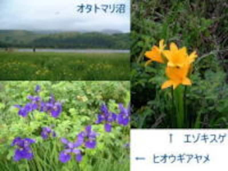 利尻島で見られる高山植物