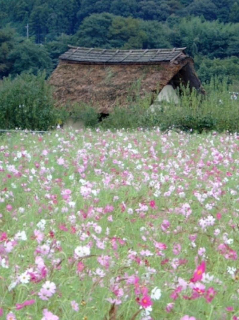 巾着田のコスモス(2)