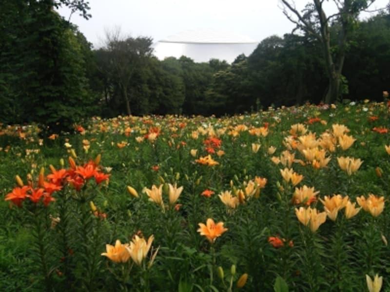ところざわのゆり園のゆり(1)/西武ドームをバックに咲くゆりの花