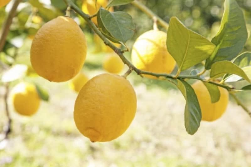 クエン酸とは、レモンや梅干などの酸っぱいものに多く含まれる成分のこと