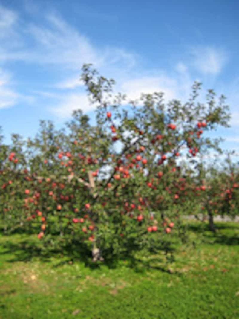 たわわに実った真っ赤なリンゴ