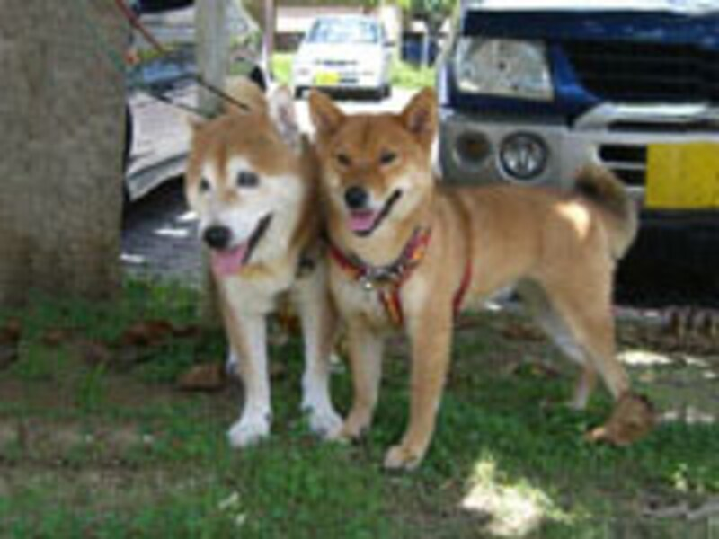健太郎君と紅ちゃん(共に柴犬、14歳と1歳)
