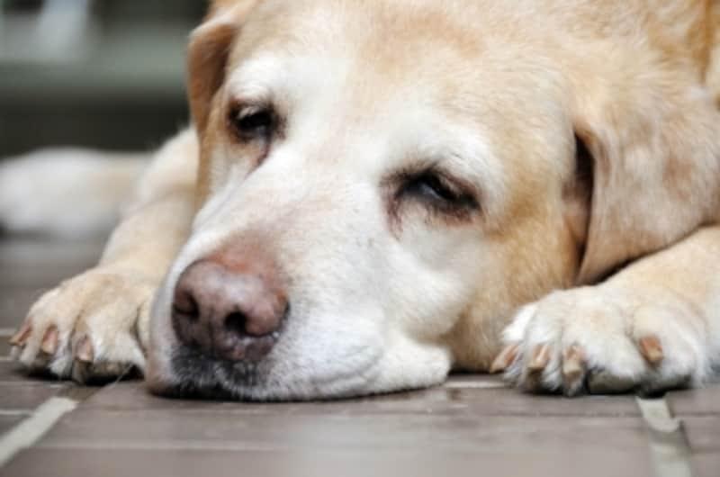 寝ているシニア犬