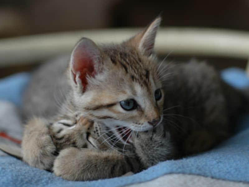 兄弟猫がいると、子猫同士は噛みつき猫キックをして、噛まれたら痛い事、加減をすることを覚えます。