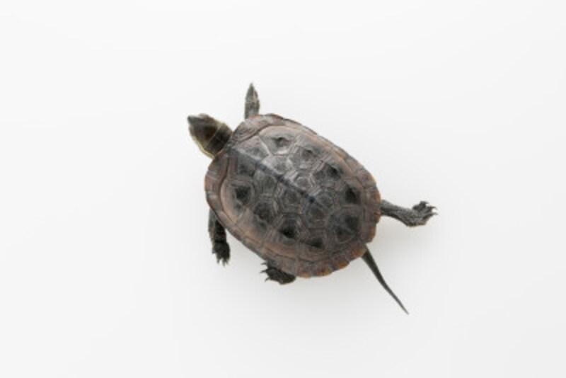 亀の冬眠明けを成功させるには? 温帯性種の時期と飼育方法