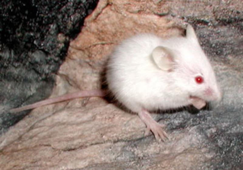 「餌マウス」となるネズミの一種、ハツカネズミ