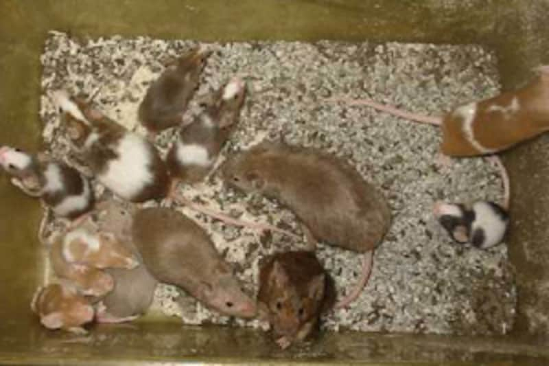 餌ネズミの飼育はこのくらいの密度でも大丈夫