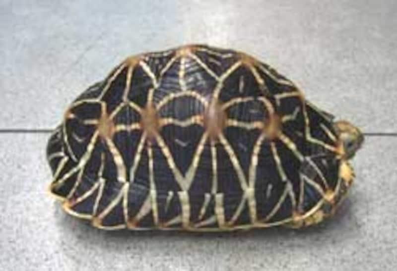 インドホシガメ