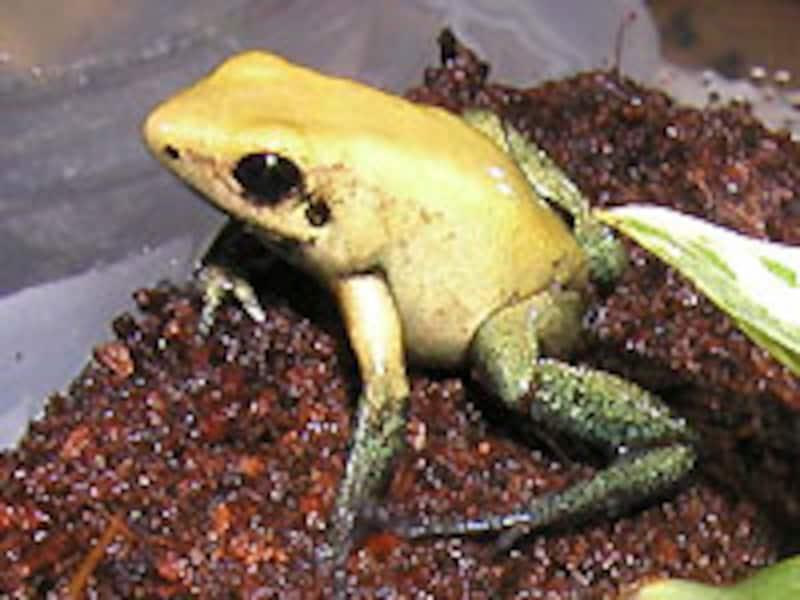 P.bicolor