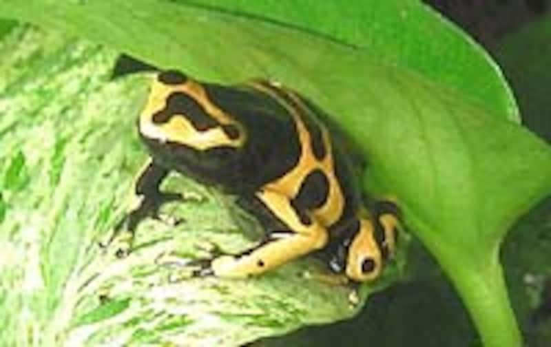 D.leucomelas
