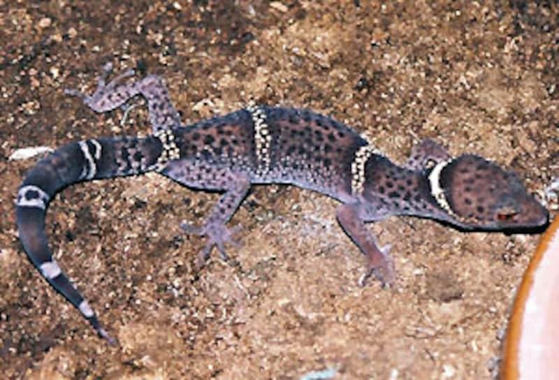 G.l.hainanensis