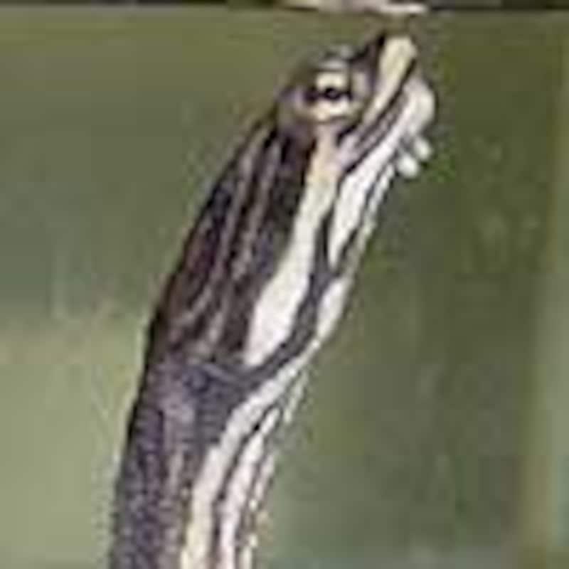 ジョフロアカエルガメ