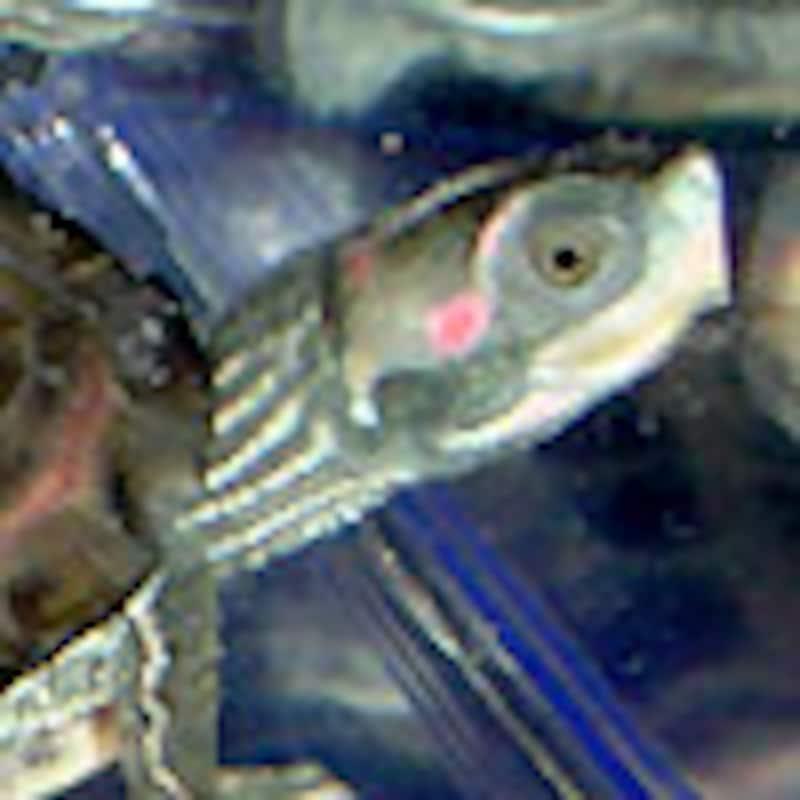 ベニマワリセタカガメ
