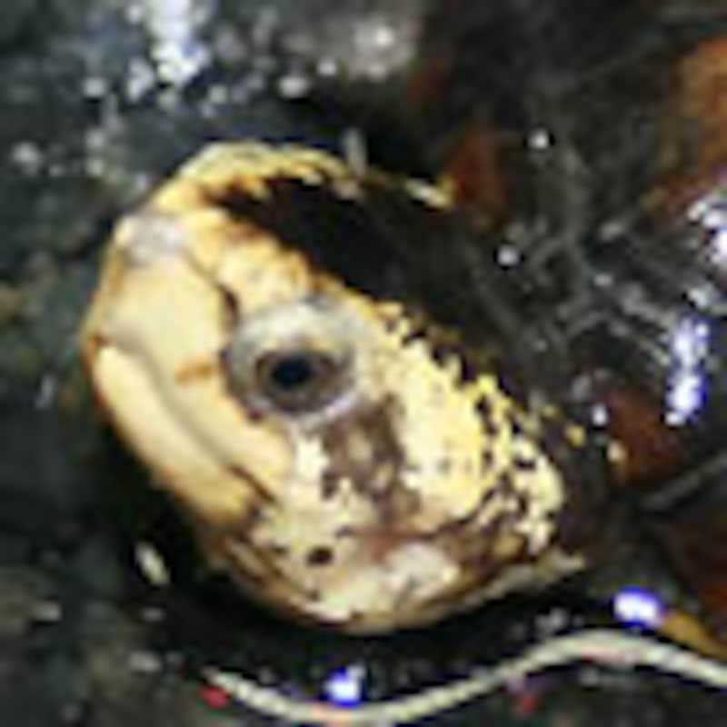 サソリドロガメ