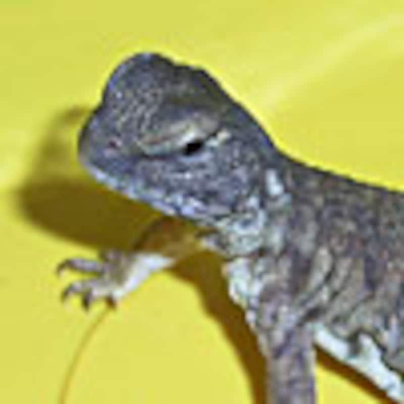 サバクトゲオアガマ