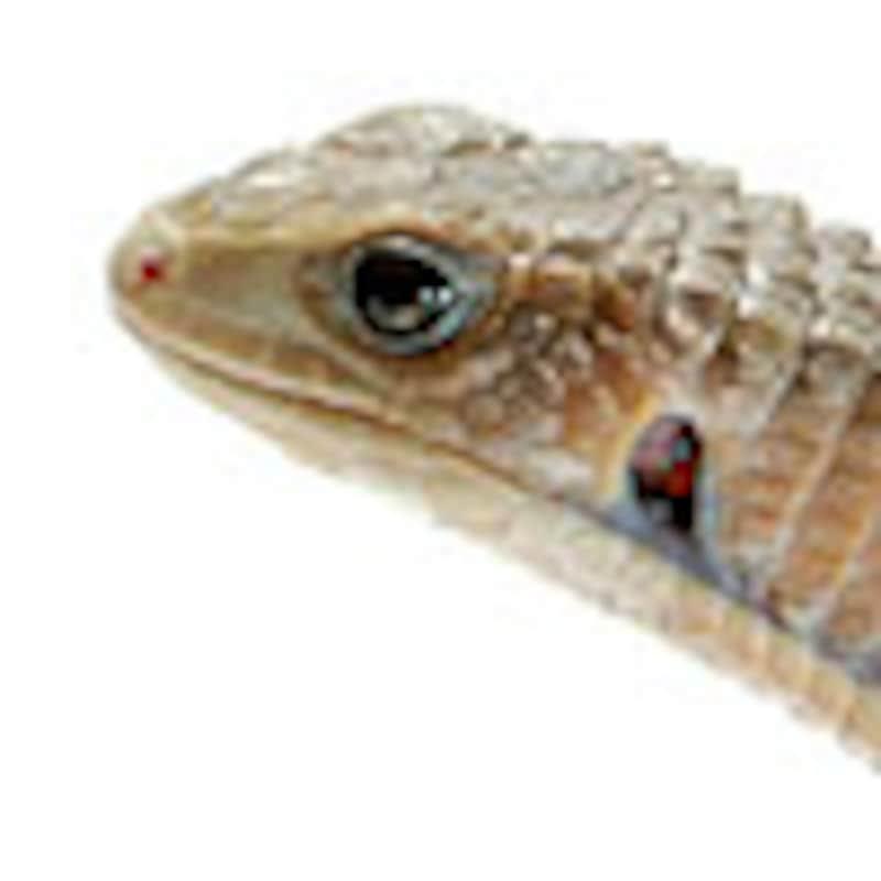 ヒガシオニプレートトカゲ