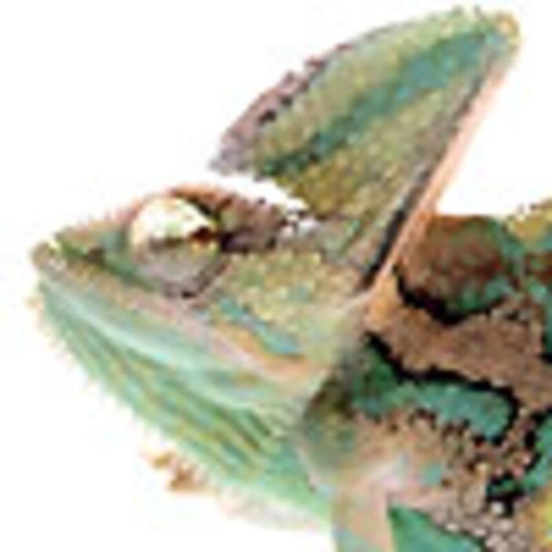 エボシカメレオン