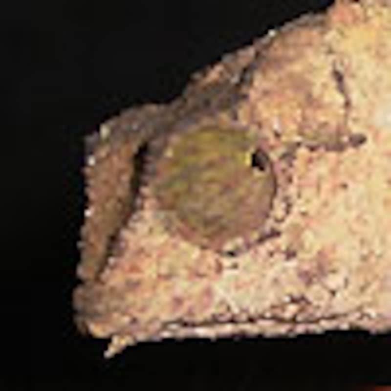 ヒゲコノハカメレオン