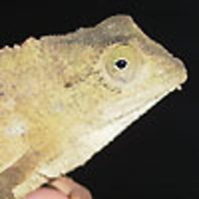 ソマリコノハカメレオン