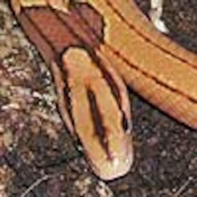 タイリクベニナメラ