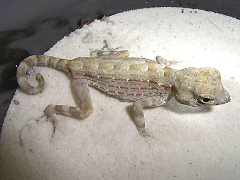 カータートゲオヤモリ!爬虫類・ヤモリの基本情報と飼育方法