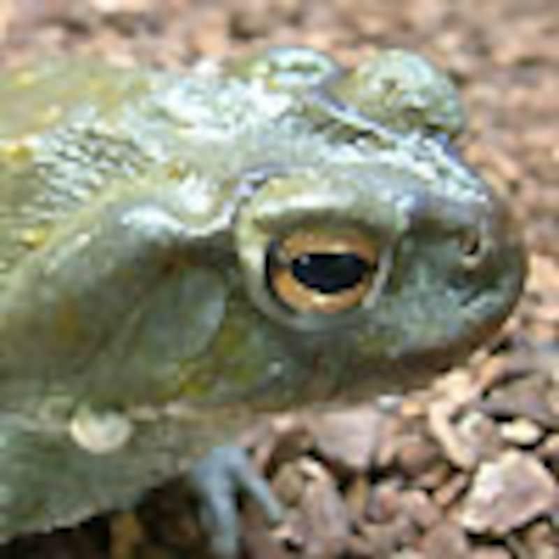 コロラドリバーヒキガエル