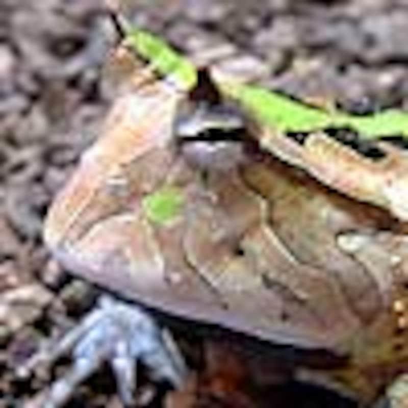 アマゾンツノガエル