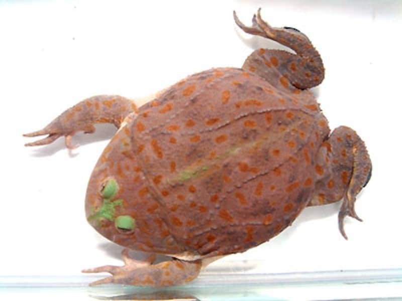 マルメタピオカガエル