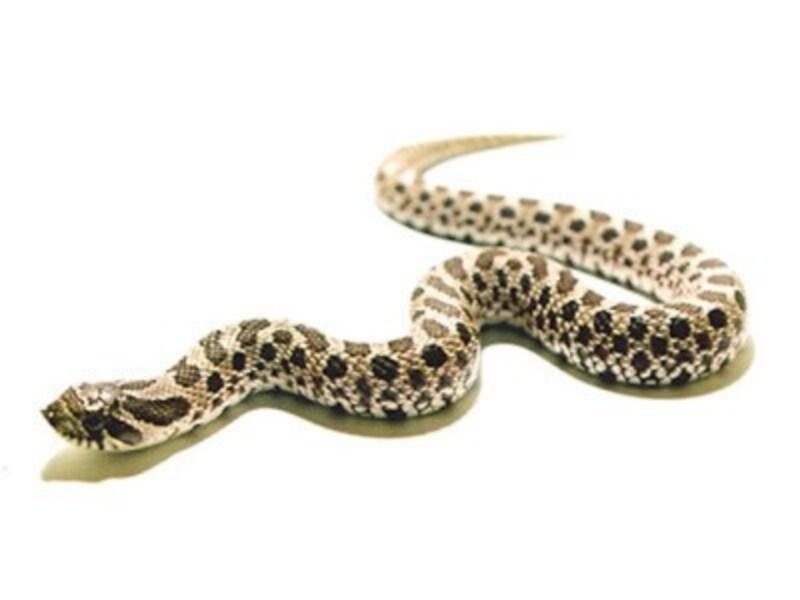 セイブシシバナヘビの基本情報や飼育方法