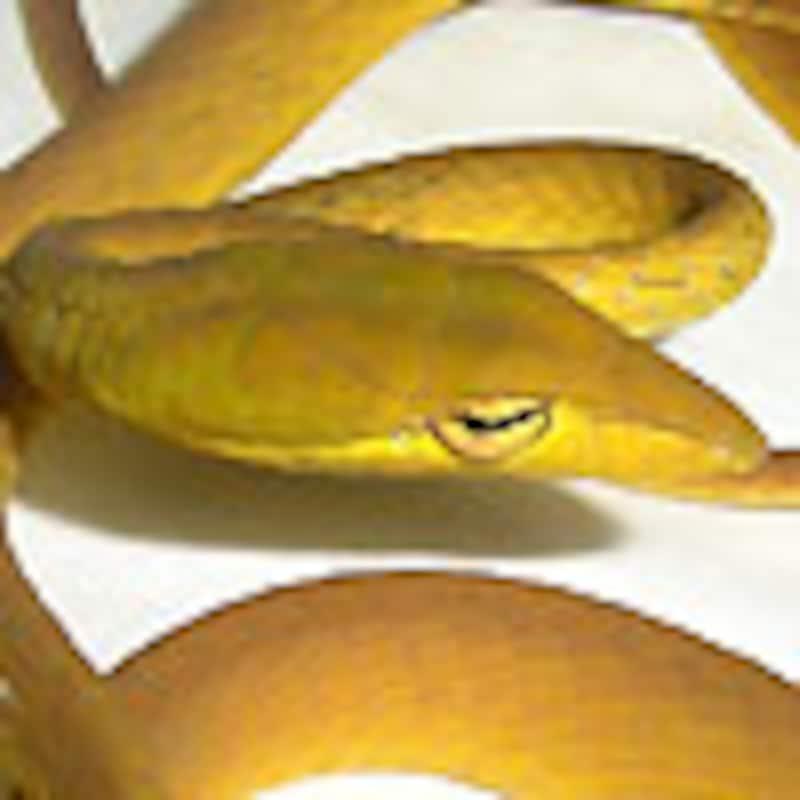 オオアオムチヘビ