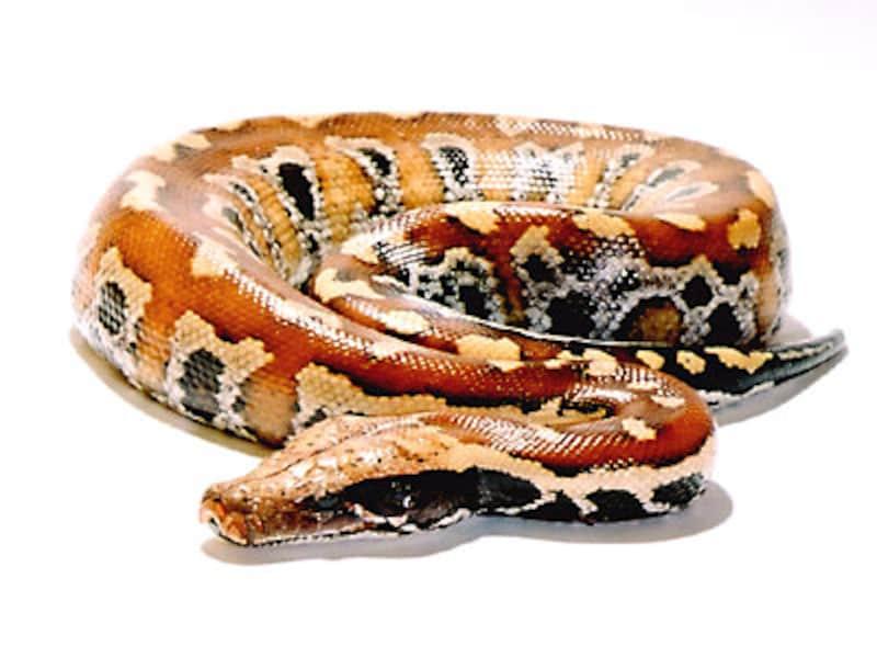 マラヤンブラッドパイソン!爬虫類・ヘビの基本的な知識と飼育方法