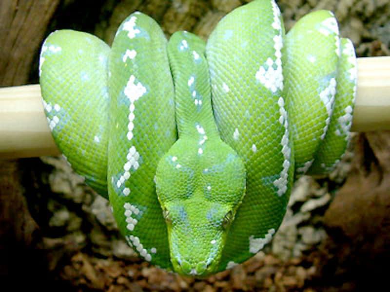 グリーンパイソンアルー!爬虫類・ヘビの基本的な知識と飼育方法
