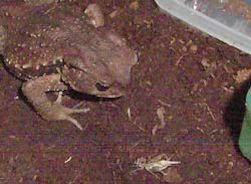 この後、数十回ののアタックの後ようやく餌にありついたうちのヒキガエル